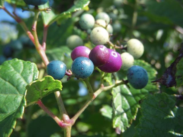 Invasive Porcelain-berry growing at Squam Farm along Trail edges, 2011.