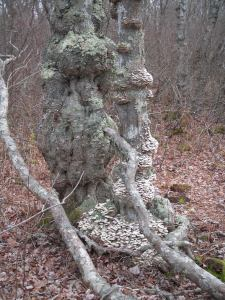 Gnarled base of Red Maple, commonly found in the wettest parts of the forest.