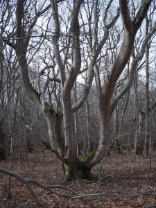 Squam Forest Trees 2008 (5)