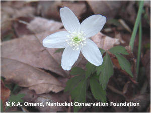Windflower (Anemone quinquefolia) growing amid leaf litter at Squam Farm.