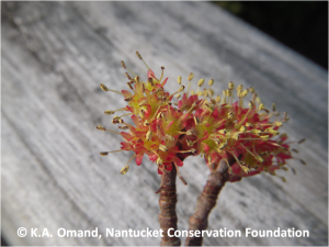 Male flowers of red maple (Acer rubrum).