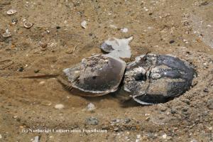 Mating Horseshoe Crab pair at Warren's Landing
