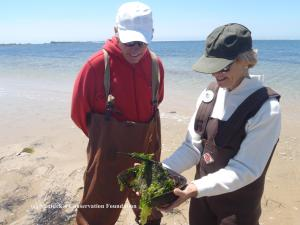 NCF Trustee Dale Hamilton and wife..... determine the sex of a horseshoe crab.