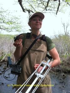 Cyndi working hard tracking spotted turtles at Medouie