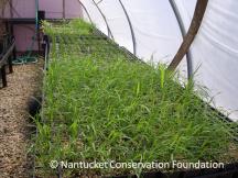 Native Grass Seedlings