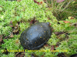 Waldo (turtle 159) was our only male turtle tracked this year. He was often found partially buried in sphagnum mosses, as above.