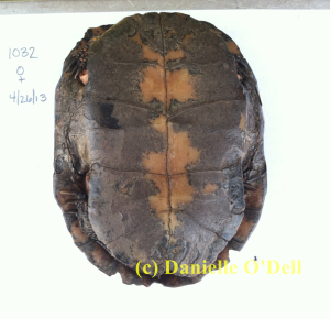 We can guess the age of spotted turtles by counting plastral annuli. She-Ra is so old that her annuli are completely worn away. Our best guess is that she is older than 15 years.