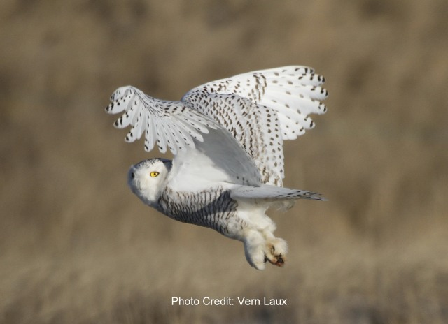 Snowy Owl taking flight Vern