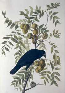 John James Audubon's American Crow