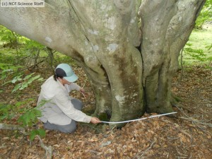 Watermarked KellyMeasBasalDiam_ElephantTree_071812