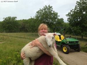 Watermarked Sheep June 13 2013 5