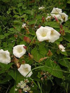 Calystegia silvatica - source Wikimedia Commons