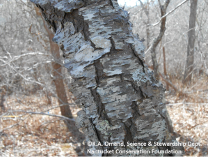 Winter field work means learning to identify trees by bark and buds, like this black cherry (Prunus serotina) with flaky bark that has horizontal lines (lenticels).