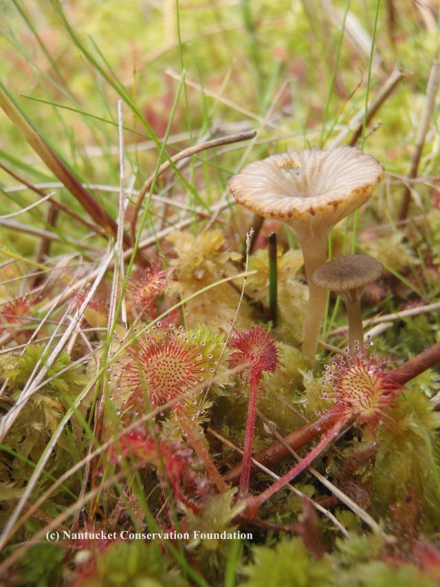 The spatulate sundew leaf covered in sparkling and sticky nectar glands