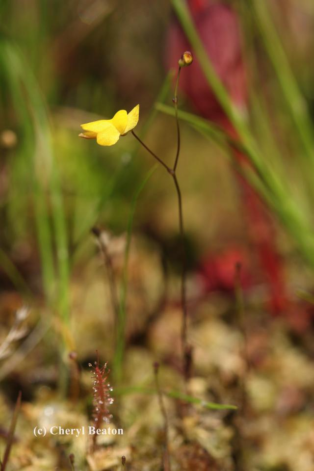 A single stalk with a few delicate flowers is the only visible part of the bladderwort plant.