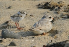 Adult plover and her chick!