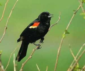 Photo courtesy of the Cornell Lab of Ornithology