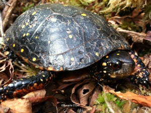 spotted turtle2