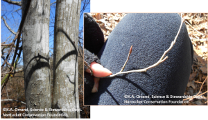 """A """"tree shadbush"""" (Amelanchier sp.) at Squam--identified by the smooth gray lichen covered bark and narrow twisted buds."""