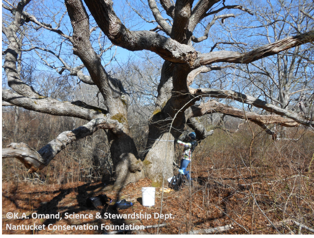 One of the large black oak (Quercus velutina) trees at Squam Swamp, being measured by student Zannie Duffy.