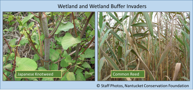Knotweed and Phrag weeds