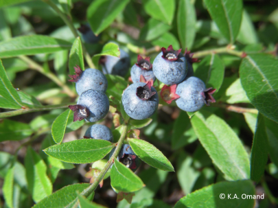 Early lowbush blueberry, Vaccinium angustifolium, which grows only a couple feet high in open dry areas.