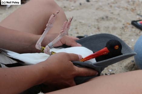 An adult American oystercatcher being banded