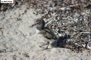 An American oystercatcher chick