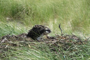 Osprey chick in the nest on the ground at Eel Point