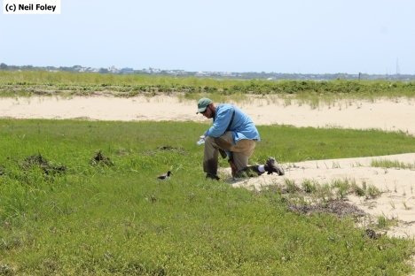 Neil Foley (NCF Coatue Ranger/Shorebird Monitor) releases a just-banded American oystercatcher chick on First Point