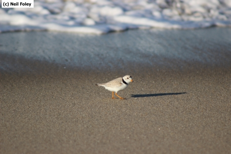 An adult piping plover