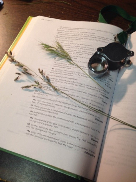 Grass specimens with a dichotomous key and hand lens (for magnifying small plant parts)
