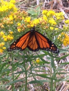 Monarch Butterfly on Slender-leaved Goldenrod (Euthamia graminofolia)