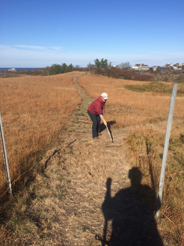 Danielle raking up illegally herbicided, dead plants before reseeding at Tupancy - the illegally created trail is visible stretching behind Danielle in the distance.  This is only a small portion of the disturbance.