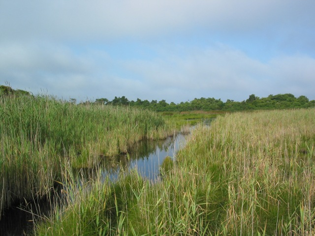 Medouie Creek, dominated by the non-native grass Phragmites australis