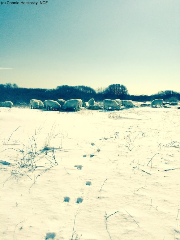 Winter Sheep watermarked