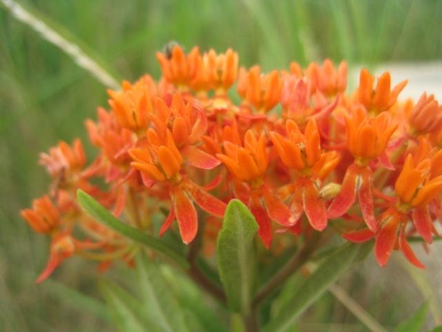 Asclepias tuberosa (Butterfly milkweed) in flower. Photo credit: G. Kozlowski