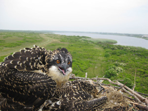 Juvenile Osprey Photo Credit: Jin Hong