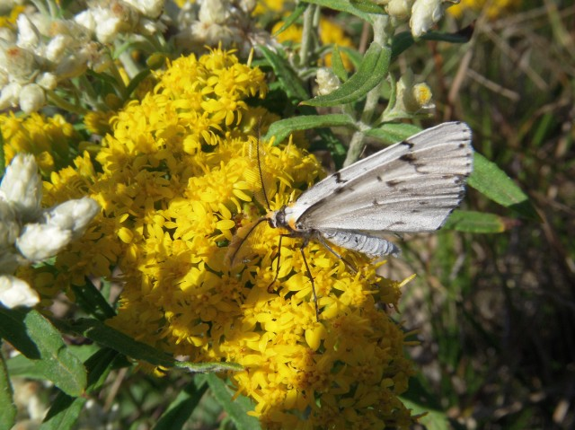 Chain Dot Geometer feeding on goldenrod Photo Credit: KA Omand