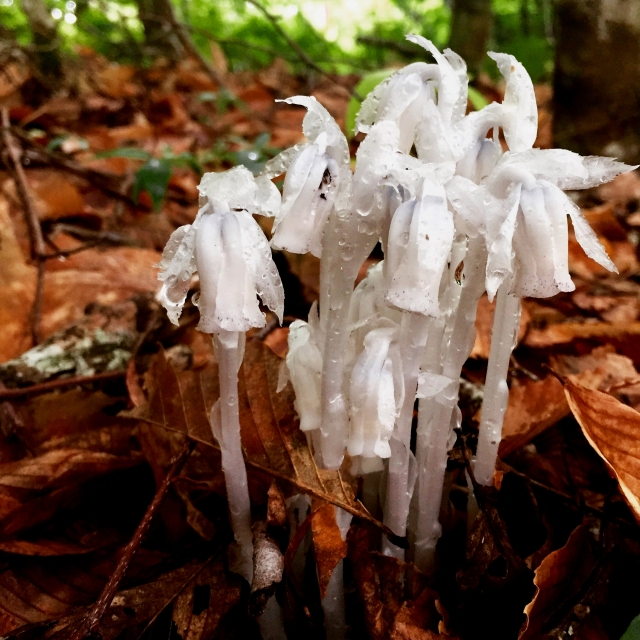 Indian Pipe, Photo Credit: Kaitlyn Evans