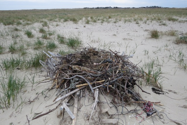 Ground Nest with eggs