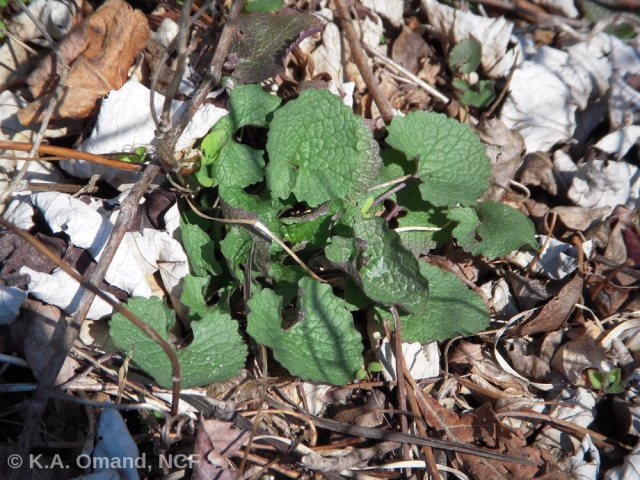 Garlic mustard rosette (cluster of leaves that forms before the plant flowers).