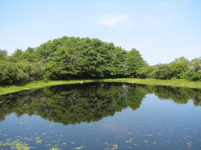 Alamanc Pond, a large Coastal Plain Pond on Nantucket, full of water in mid-summer