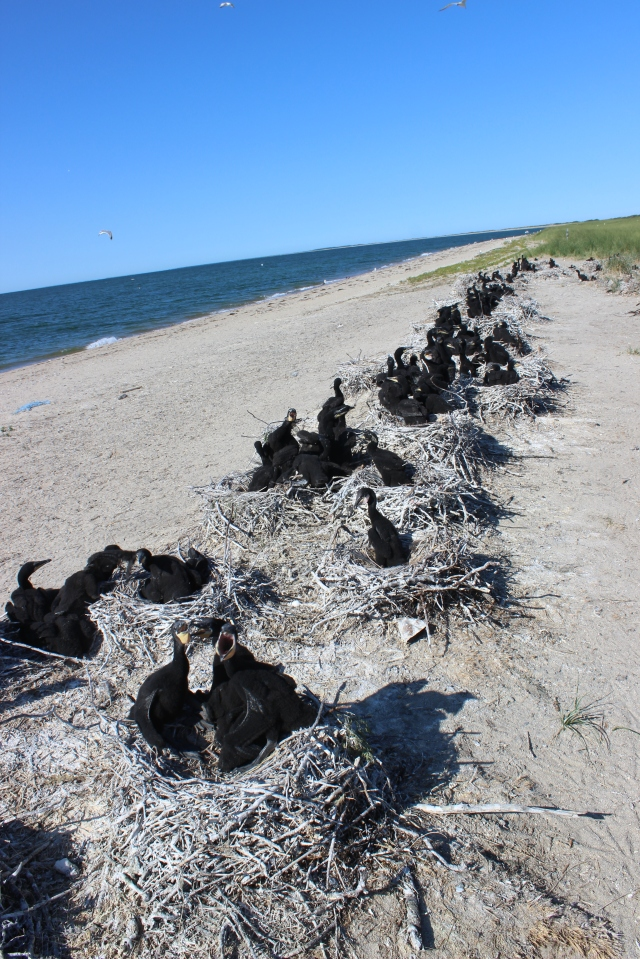 Double-crested cormorant colony on the north shore of Coatue