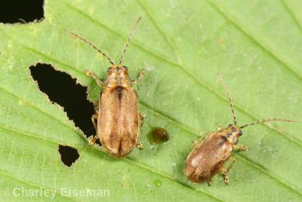 Viburnum beetle adults, C Eiseman