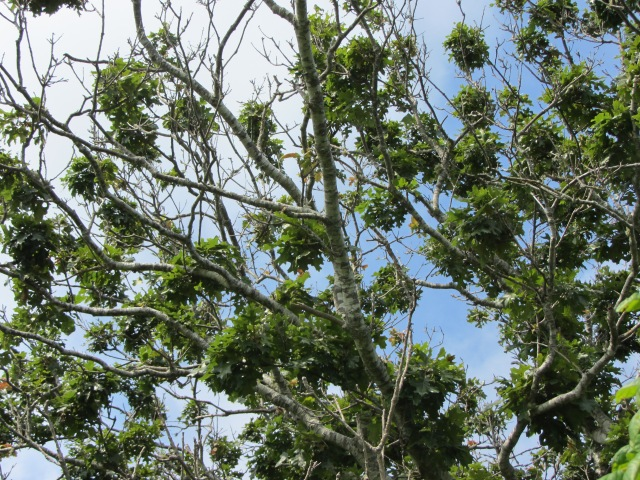 2. Black Oak Canopy Gall Wasp Damage