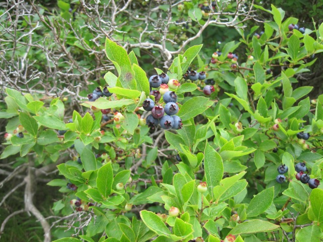 Highbush Blueberries by JPK