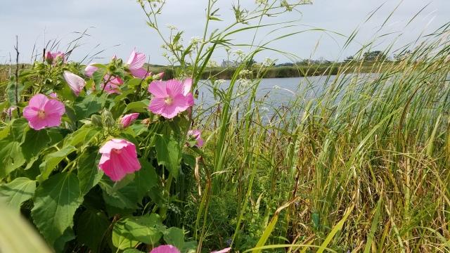 Hib mos, Miacomet Pond East Shore LB,KAO (2)