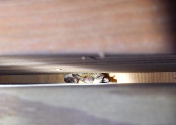 Bat Hibernation on Nantucket? | Nantucket Conservation Foundation's on