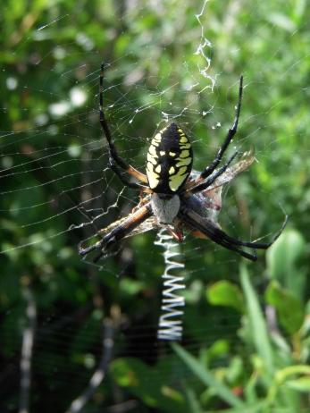 garden spider3